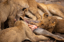 Closeup Of Group Of Wild Lioness Devouring Killed Kudu Antelope In Savuti In Southern Africa