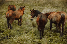 Chestnut Horses Grazing In Green Pasture Meadow In Countryside