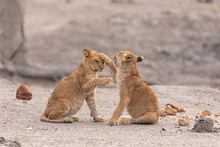 Full Length Of Pair Of Little Wild Lion Cubs Playing Together While Sitting On Sandy Ground In Savuti Area In Southern Africa