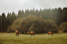 Chestnut Horses Grazing In Green Pasture Near Forest In Afternoon Under White Sky In Countryside
