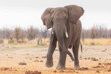 Front View Of Alone Elephant On Sandy Ground Near Dry Plants In Savuti Area In Botswana