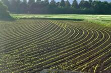 Corn  Field In  Spring In Brittany