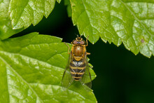 Dorsal View Of A Female Hoverfly (syrphid Fly) On Green Leaves In England,UK.