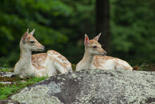 Two Fallow Deer Fawns Looking In The Distance