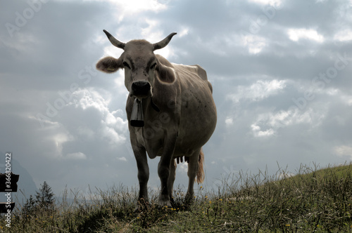 Valokuvatapetti Swiss brown cow with intact horns on Flumserberg, Swiss Alps