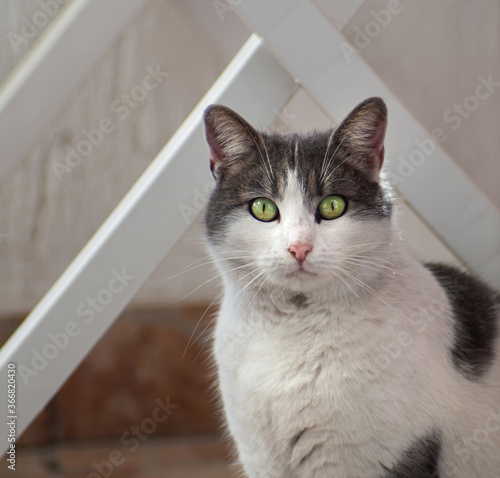 Beutiful Fluffy Grey And White Cat With Green Eyes Buy This Stock Photo And Explore Similar Images At Adobe Stock Adobe Stock