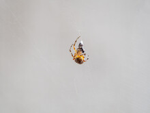 Small Orange Spider Catching And Cocooning A Fly
