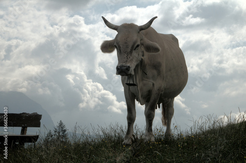 Swiss brown cow with intact horns on Flumserberg, Swiss Alps Canvas-taulu