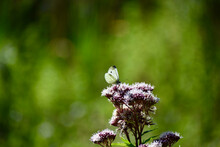 Small White Butterfly On A Flo...