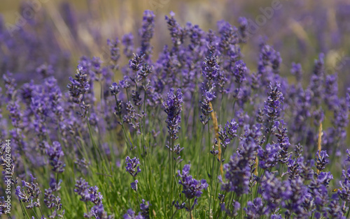 Photo Closeup image of lavender  blooming in provence near groudon