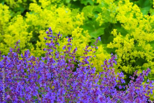 Cuadros en Lienzo Yellow flowers Alchemilla mollis or Garden lady mantle and violet flowers Salvia officinalis