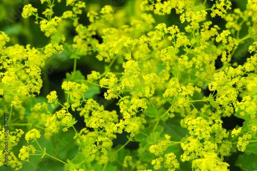 Valokuva Yellow flowers Alchemilla mollis or garden lady mantle, ornamental plant