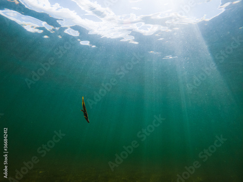 Fotografía A newt diving back to the bottom after coming up for some air in a New Hampshire Lake