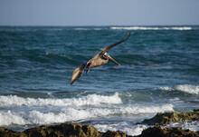 Tropical Wildlife. Seabirds. Brown Pelican, Pelecanus Occidentalis, Flying Over The Blue Ocean And Shore Rocks.