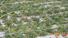 Strawberries Harvested In The City Of Dali In Yunnan In China.