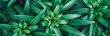 Asiatic Lily Plant. Lilium You...