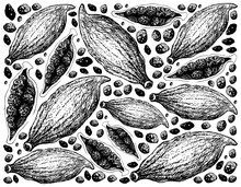 Herbal Plants, Hand Drawn Illustration Background Of Whole And Half Of Fresh Green Cardamom Pods Used For Seasoning In Cooking.