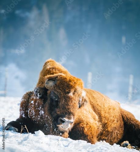 Buffalo Tapéta, Fotótapéta