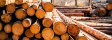 Log Spruce Trunks Pile. Sawn T...