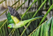 The Indian Ringed Neck Parrot