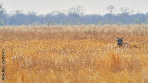 Slika na platnu wildlife photo of a common warthog (Phacochoerus africanus)
