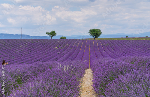 Fototapety, obrazy: Lavender field in summer sunny day in Provence, France