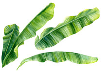 Set Of Green Banana Palm Leave...