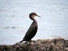 Un Cormoran Noir Sur Un Rocher Dans La Mer