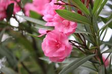 Pink Nerium Oleander Flowers W...