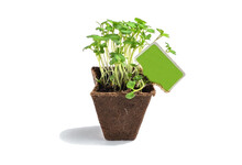 Young Fresh Seedlings Of Lettuce And Celery Stand In Peat Pots Isolated On A White Background, Greens For Food That Can Be Grown In Your Own Garden.