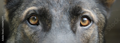 Fototapeta Augen reinrassiger Deutscher Schäferhund Großaufnahme Portrait obraz