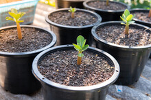 Seedlings Of Azalea Planted In...