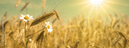 Agriculture background - Landscape of summer grain barley field and real camomile ( Matricaria chamomilla L. ) flower herb, under blue cloudy sky with sunshine in Germany