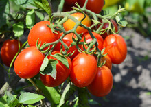 A Cluster Of Red Plum, Roma, Paste Tomatoes On A Tomato Plant Growing In A Vegetable Garden Promises Good Tomato Harvest.
