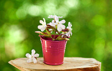 Wooden Stump With Saponaria Flowers In A Bucket On A Green Sunny Bokeh Background.