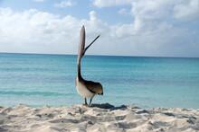 Gray Pelican Flaunts On The Sa...