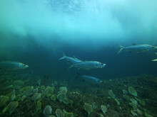 Large Silvery Fish With Aggres...