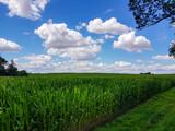 Fototapeta Na sufit - Pole dojrzewającej kukurydzy i błękitne niebo