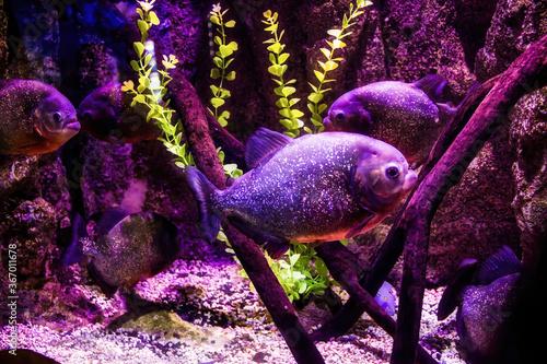 Fotografie, Obraz Malaga, Spain: Underwater ocean life showing two piranha or piraña, a member of