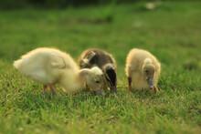 Ducks Walking In The Garden Ou...