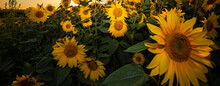 Field Of Sunflowers During A C...