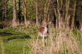Fototapeta Zwierzęta - Młody daniel zwyczajny (Dama dama), dzikie zwierzę w lesie, rezerwat przyrody