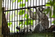 Lemur In Cage