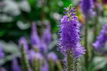 Blue  Verbena Hastata Flowers ...
