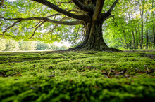 Mossy Green Earth Under A Giant Tree.