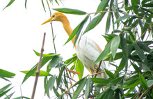 Great  Egret  With Brown Colou...