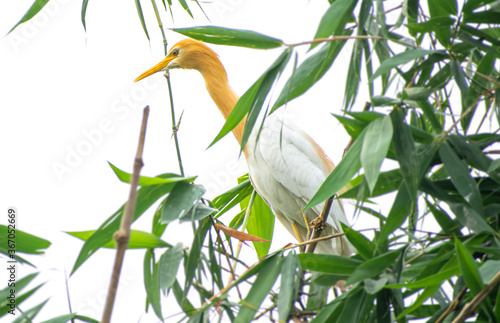 great  egret  with brown colour sitting on Bamboo tree Wallpaper Mural