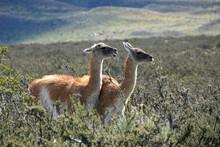 Guanacos In Torres Del Paine N...
