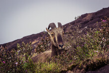Mountain Goat Relaxing At The ...