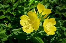 Close Up Yellow Oenothera Flow...